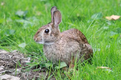 Eastern Cottontail by Peter Green