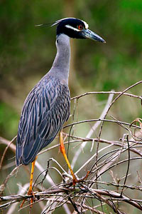 Beak of the Week: Yellow-crowned Night-Heron