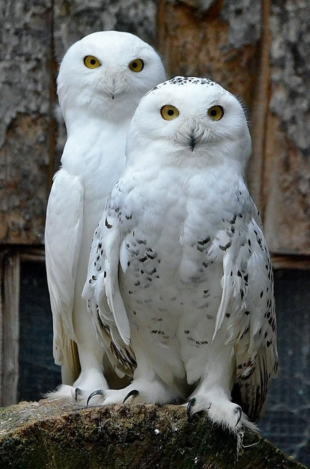 Two snow owls