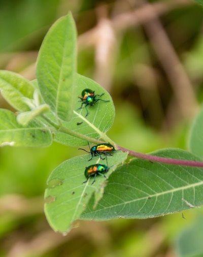 Fauna: Dogbane beetles