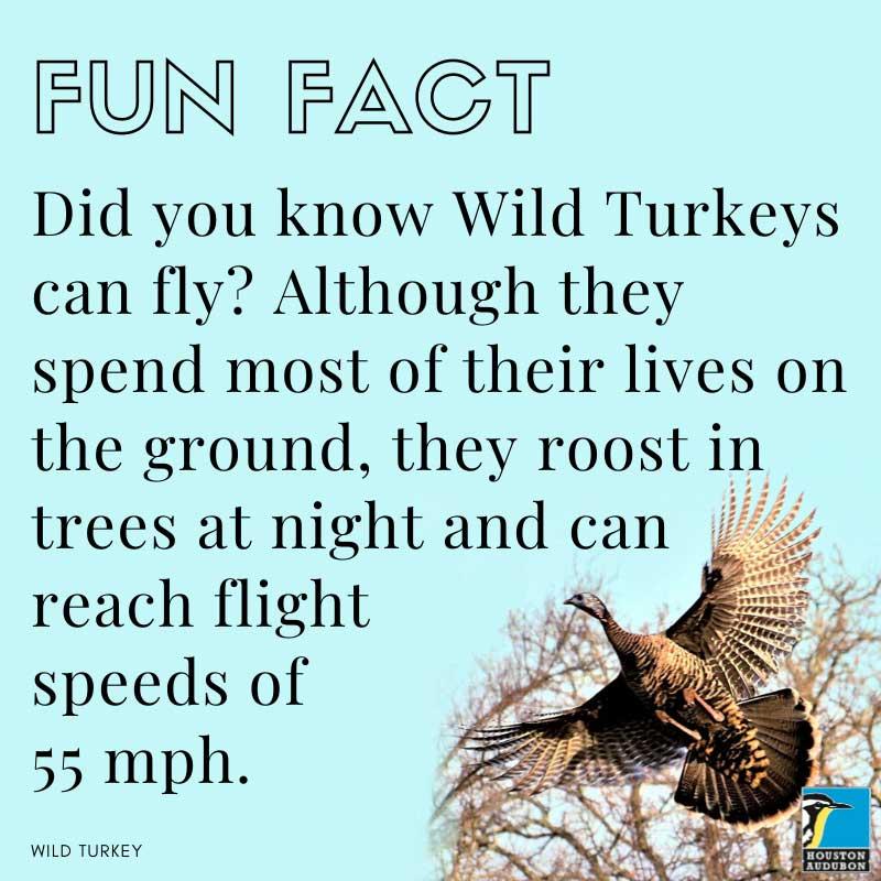 Wild turkeys fun fact