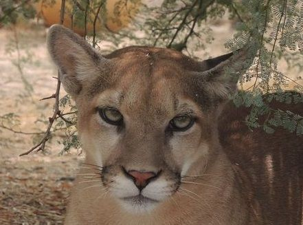 Our New Mountain Lion has a New Name!