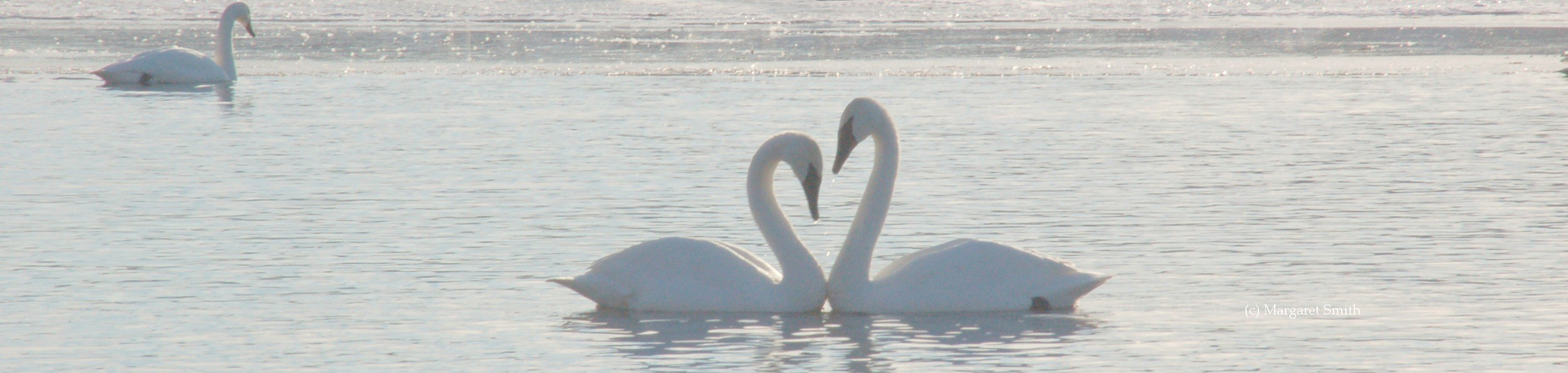 Your donation to The Trumpeter Swan Society, large or small, will help swan conservation