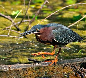 Beak of the Week: Green Heron