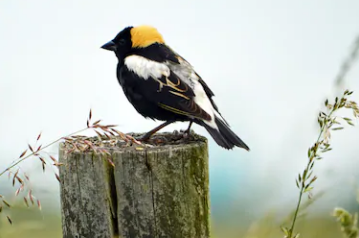 Bobolinks are Back!