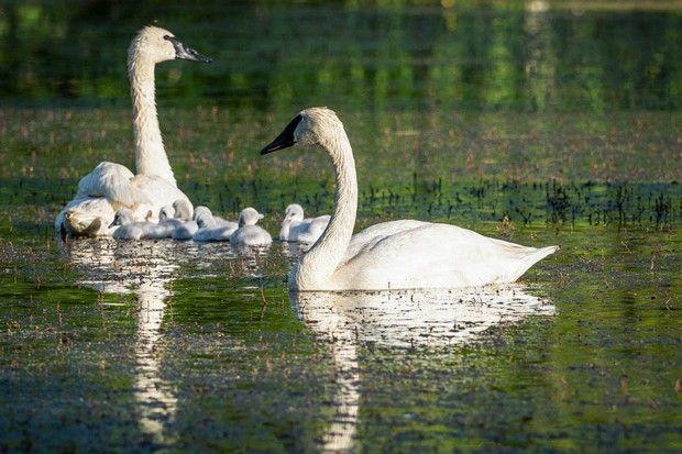 Aspen Lakes Swan pair, a partnership with TTSS, hatches 8 cygnets!
