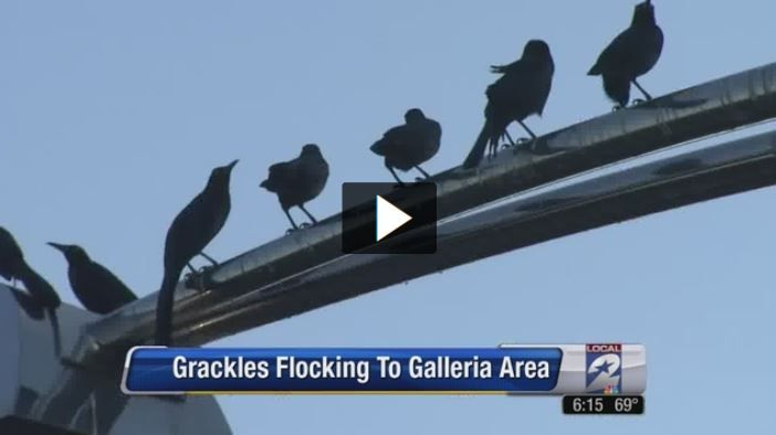 Grackles Flocking to Galleria Area