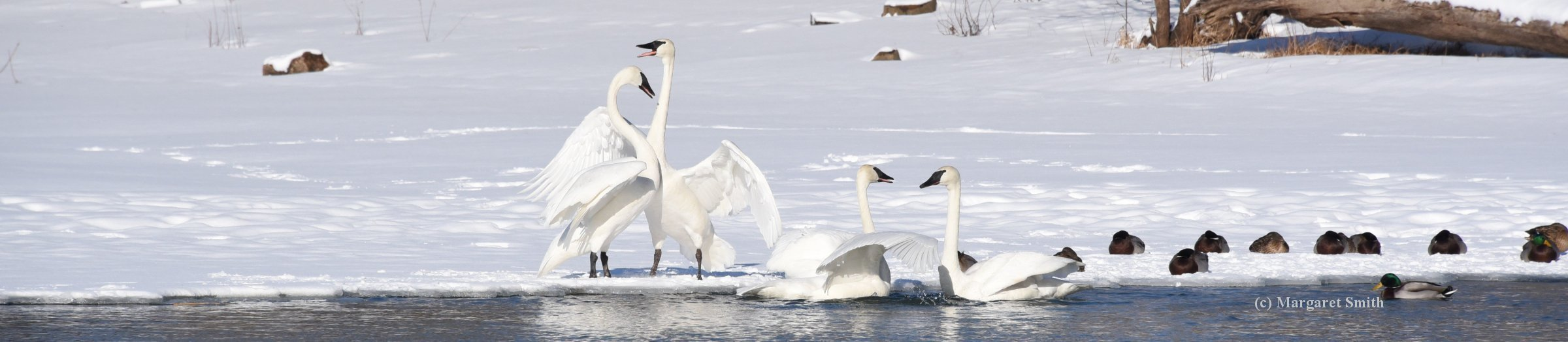 The Site Map on the Trumpeter Swan Society website helps you easily find the swan information you want to know