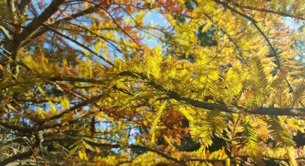 Bald Cypress: 2021 Native Tree of the Year