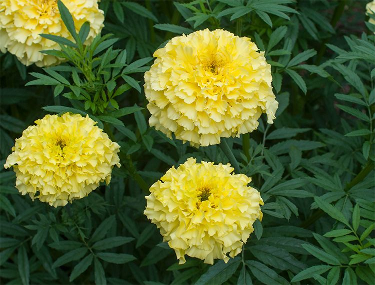 'Alaska' Marigold