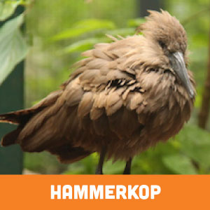 hammerkop