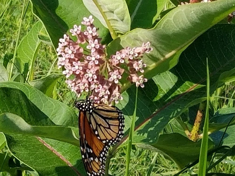 Monarch on Common Milkweed by Ted Sendler