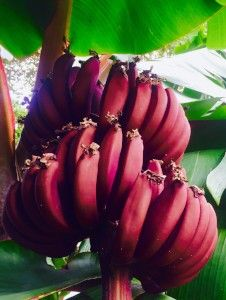 红色的香蕉