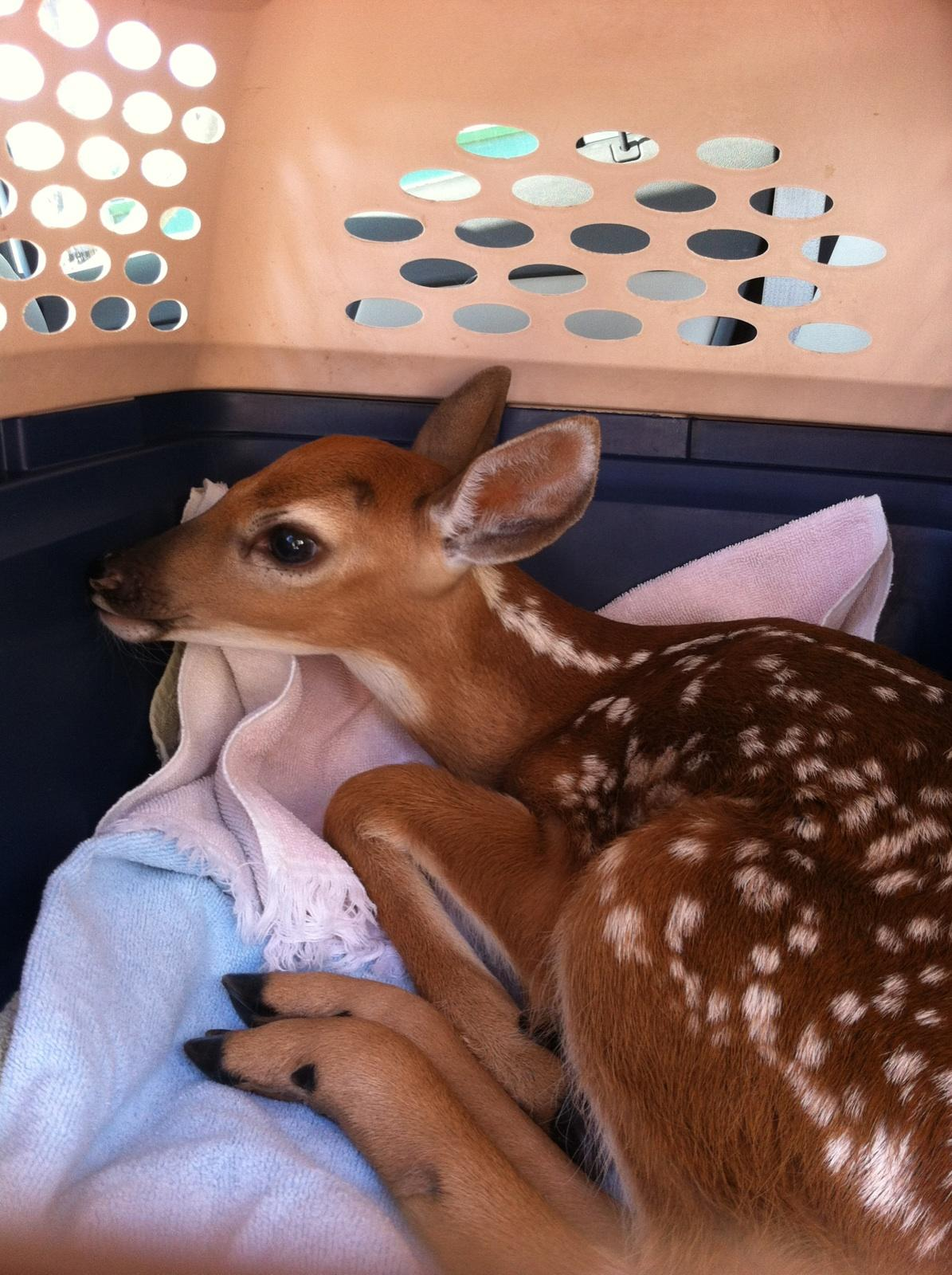 Fawn Reunited with her Mom