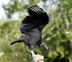 Beak of the Week: Black Vulture