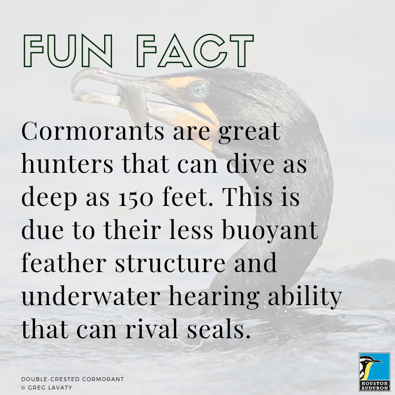 Cormorants fun fact