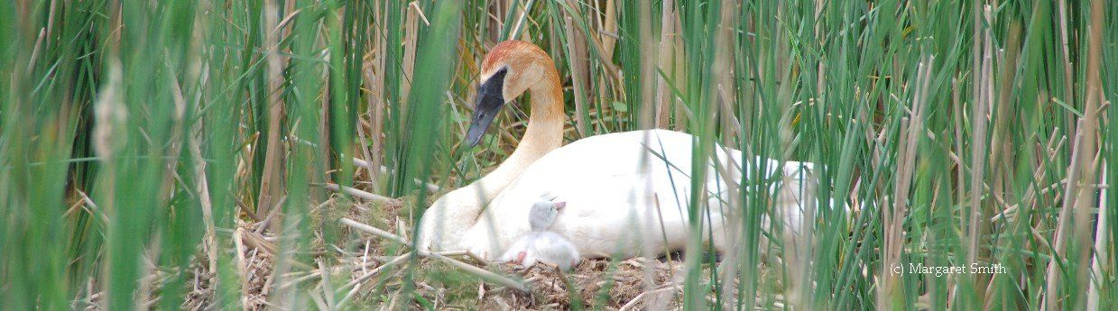 Become a monthly Swan Sustainer to help Trumpeter Swans every day of the year