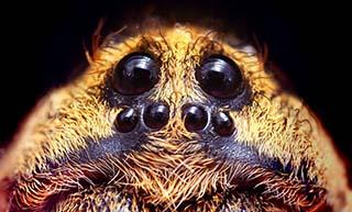 Wolf eyes image by Opertuser via Wikipedia