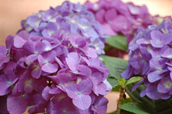 Hail to the Hydrangea!