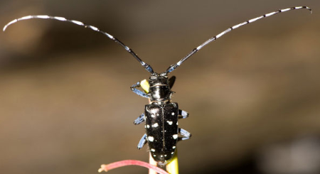 Audubon Society of Rhode Island Invasive Species Asian Longhorned Beetle See the Beetle Stop the Beetle