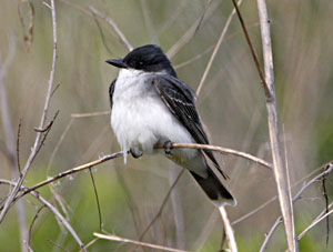 Beak of the Week: Eastern Kingbird