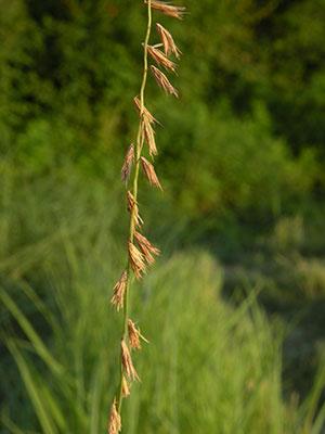 Sideoats grama