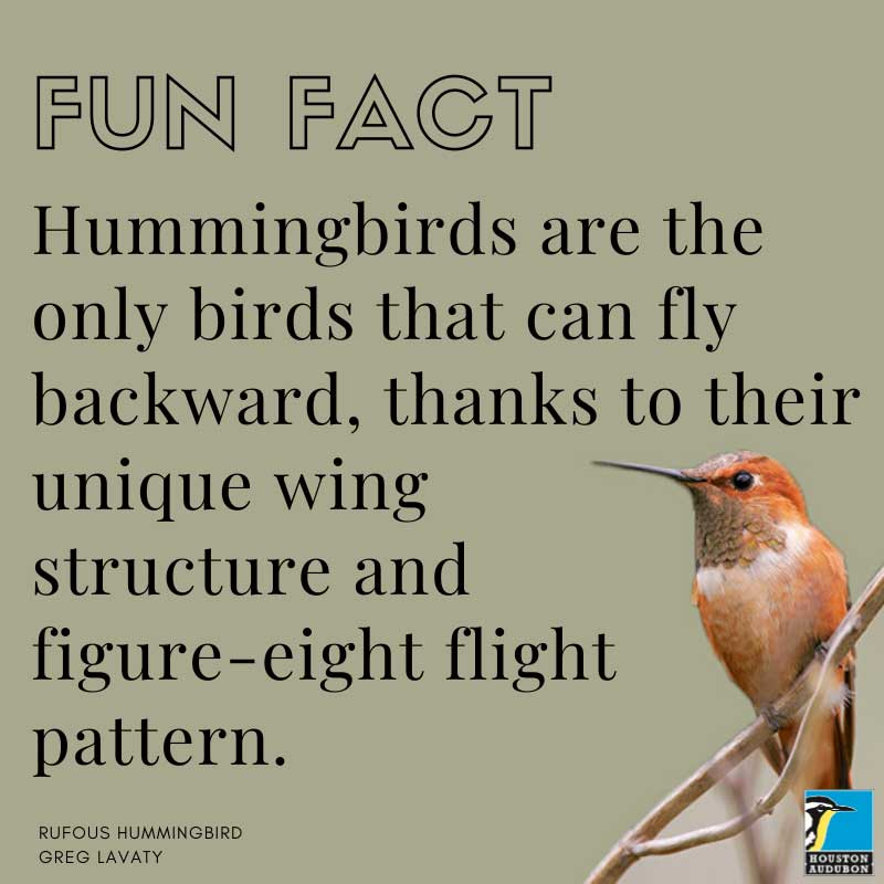 Rufous Hummingbird fun fact