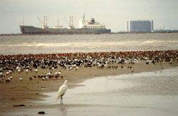 Bolivar Shore Birds