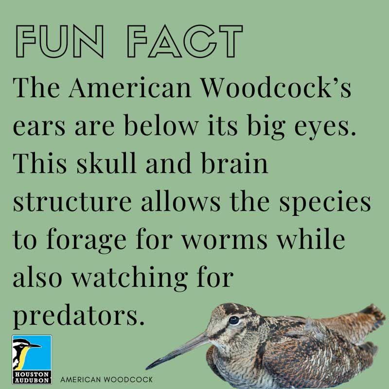 American Woodcock fun fact