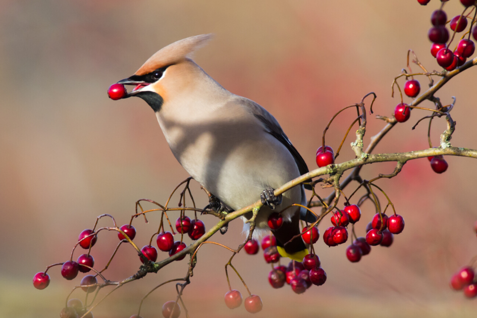 The Elusive Cedar Waxwing