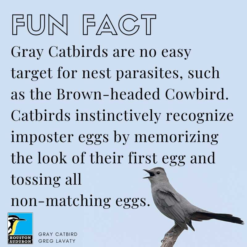 Gray Catbirds fun fact