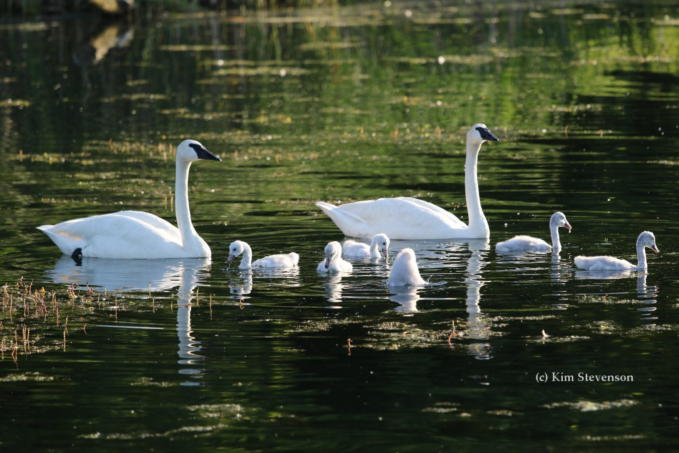 Learn how you can make swan friendly habitat
