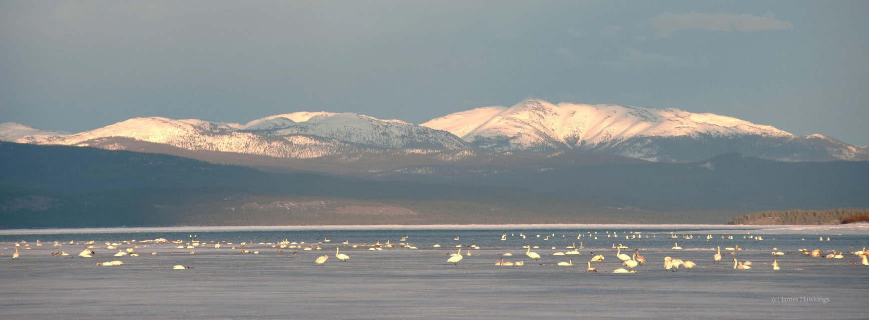The Yukon is an important area for migrating birds, including tens of thousands of swans. Learn more about the Pacific Coast Population here.