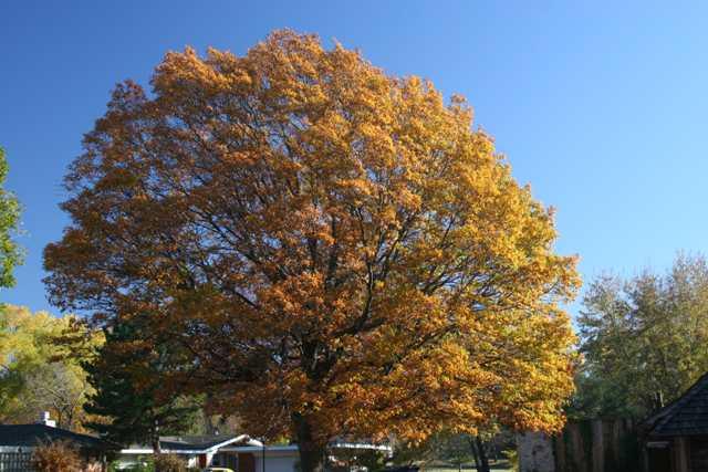 """Red Oak - Pack of 25 Seedlings (6""""-12"""")"""