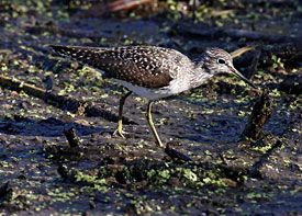 Beak of the Week: Solitary Sandpiper