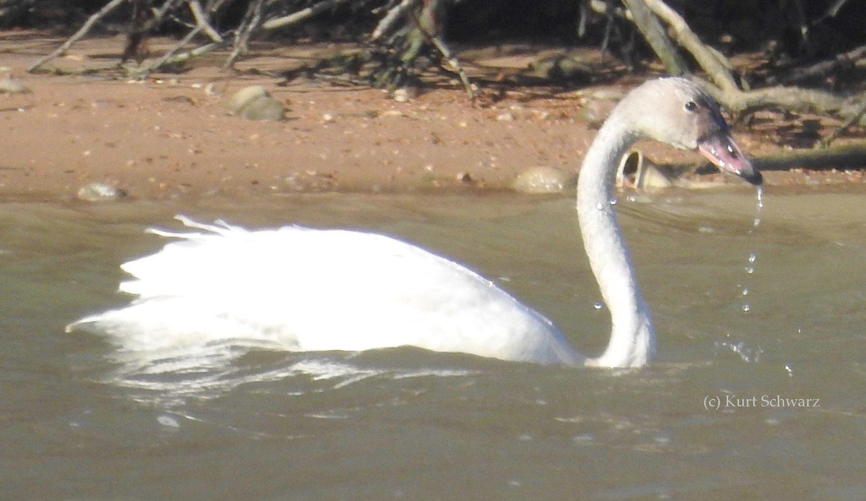 Tundra Swan cygnet, pink bill