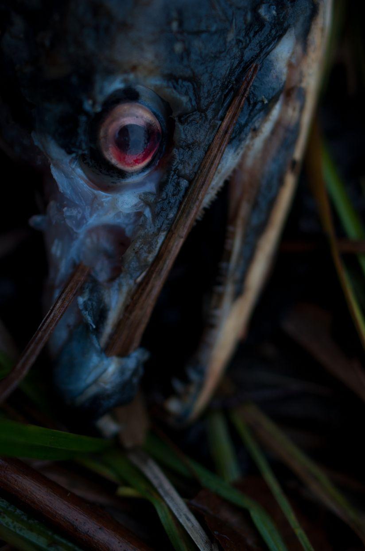 Ward Lake 3, Salmon with Red Eye