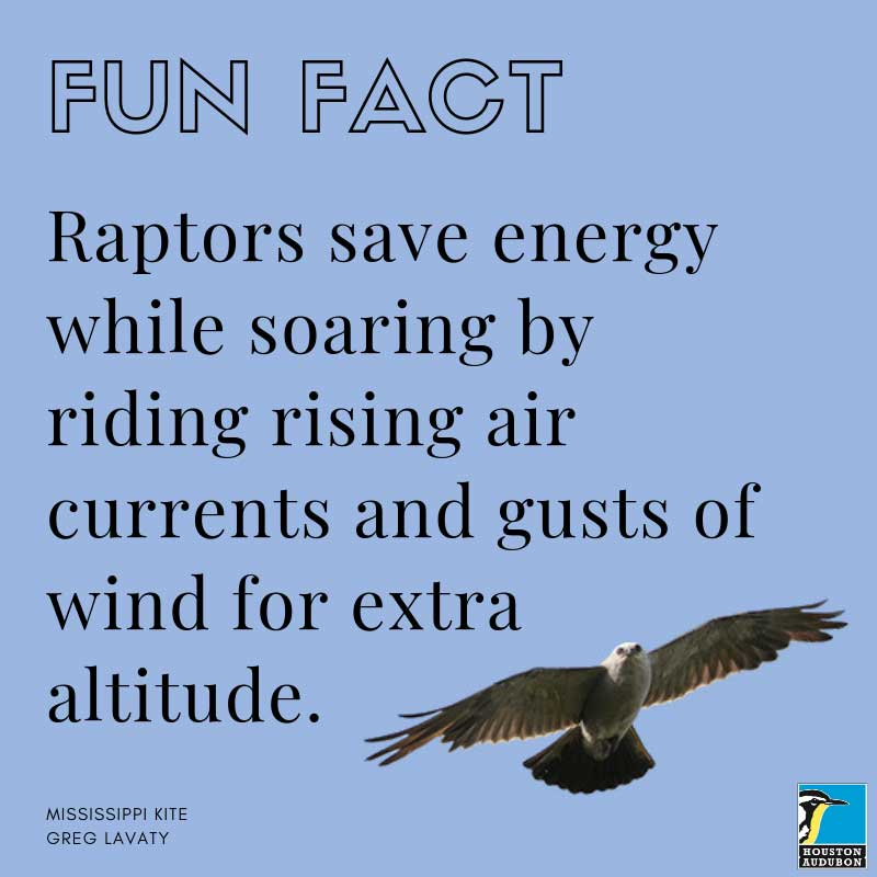 Fun fact about raptors and rising air currents