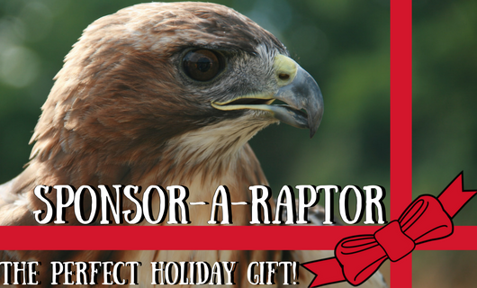 Photo: Finn the Red Tailed Hawk with a ribbon graphic and says Sponsor A Raptor: Makes a great Holiday Gift!