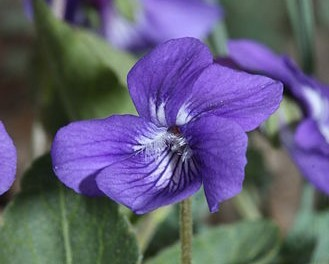 Early blue violet (Viola adunca)