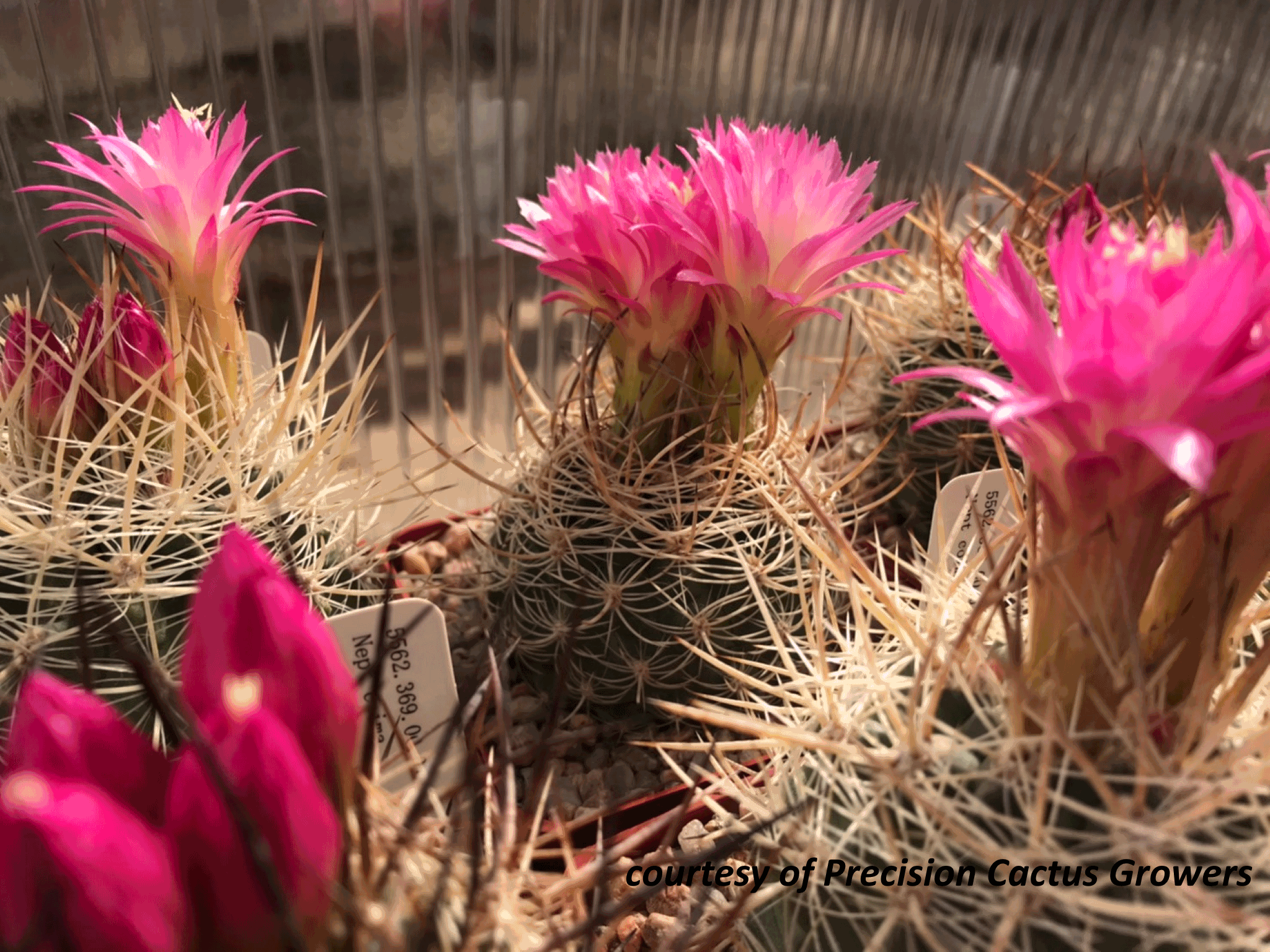 Neoporteria in Bloom