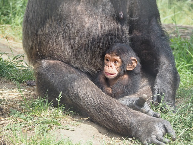 Learn About Free-Living Chimpanzees