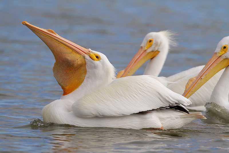 American White Pelican Bird Gallery Houston Audubon