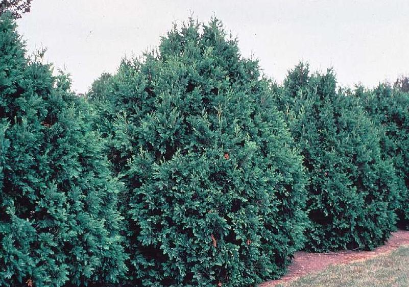 """Eastern White Cedar pack of 5 Seedlings (12""""-18"""")"""