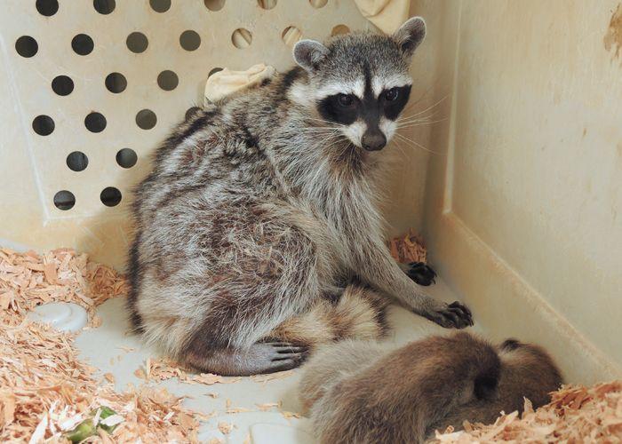 Good Job Mama Raccoon