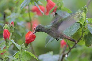 Beak of the Week: Buff-bellied Hummingbird