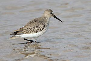 Beak of the Week: Dunlin