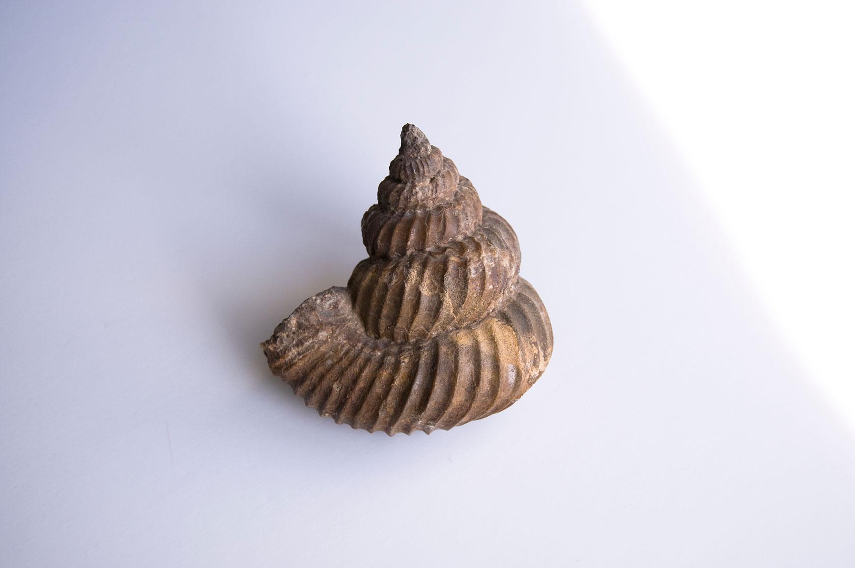 Eubostrychoceras matsumotoi