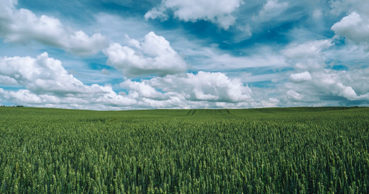 green wheat field with clouds in sky