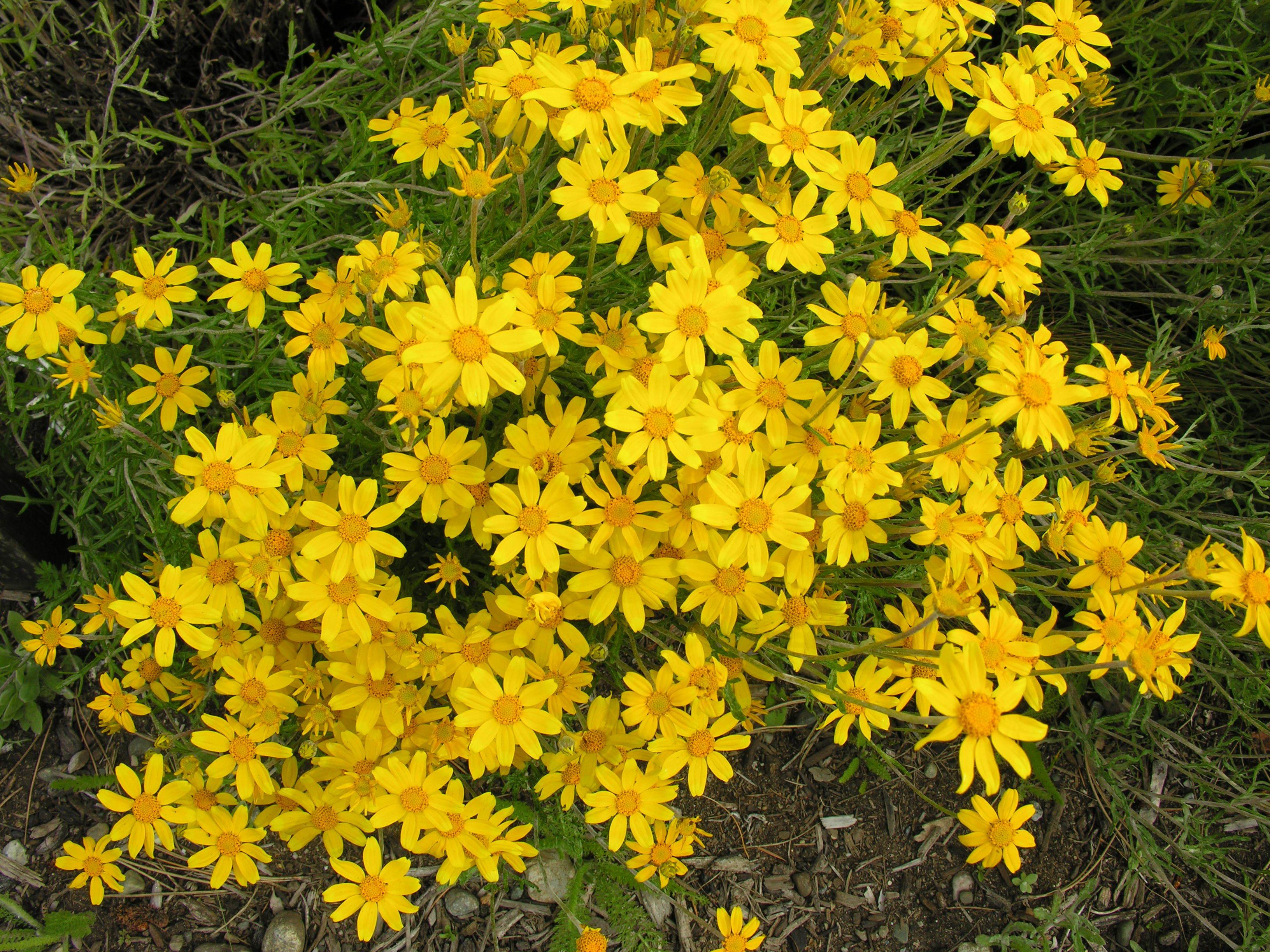 WOOLLY SUNFLOWER (Eriophyllum lanatum)